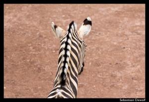 Zebra GaiaZoo-1-BM